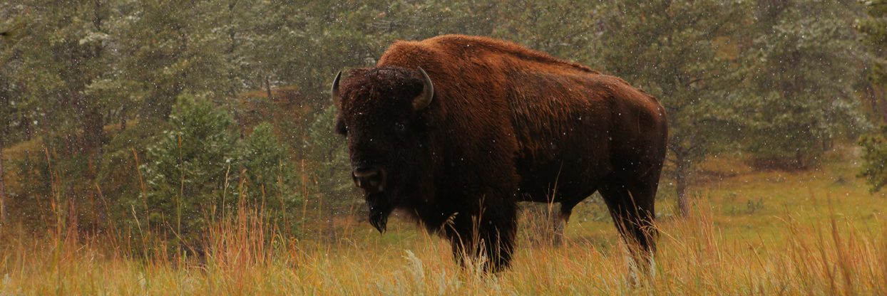 Bison standing in a field