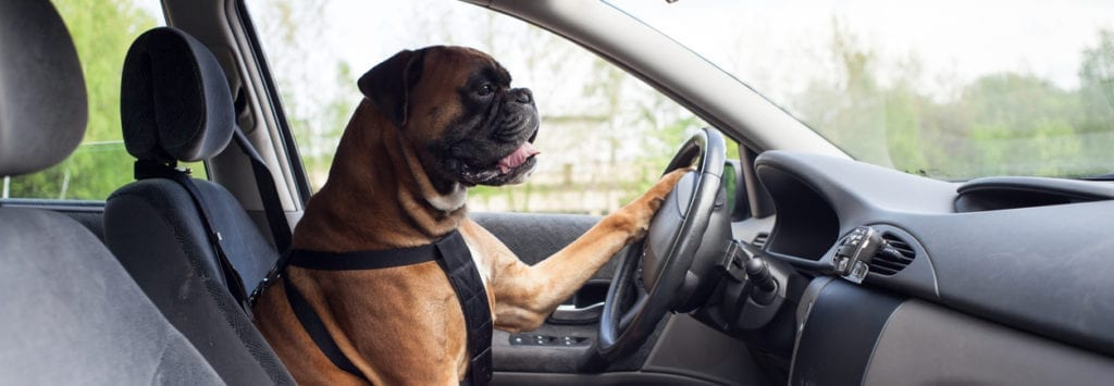 Boxer dog driving a car.